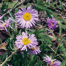 Showy Fleabane: This flower can range in color from pink to blue and is in bloom from June to August. It is usually spotted in open woods, mostly in the foothills and at moderate elevations.