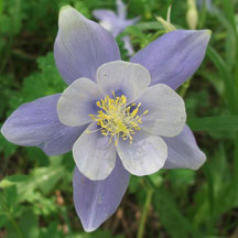 Columbine: This is the state flower of Colorado! This beautiful flowers come out from June to August and can reach a height of 18 to 36 inches. This is a native species. Look for Columbines where soil might be moist in clearing or aspen forests. They will most likely be in full sun or partial shade.