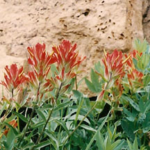 Indian Paintbrush: You will see this flower a lot from May to September. The height of Indian Paintbrush can be 12 to 14 inches. Indian Paintbrush is also known as Scarlet Paintbrush. Look for it in meadows, hillsides and clearing of pine or aspen forests.