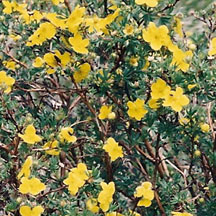 Shrubby Cinquefoil: This is a very attractive shrub with its bright yellow flowers you can see from June to September. It is very common - look for it in moist sunny areas such as meadows and near roadways.