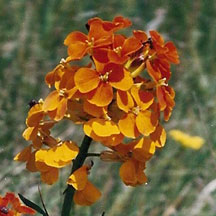 Wallflower: This flower can be found in yellow and/or orange shades. It is usually in sunny meadows, hillsides and along the side of roads. Overall the Wallflower can be 20 to 30 inches tall and will flower from May to August.